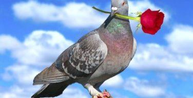 paloma-con-rosa-roja